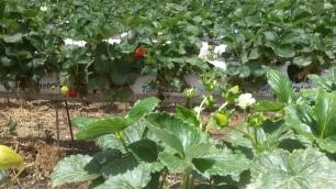 רמת רחל תותים